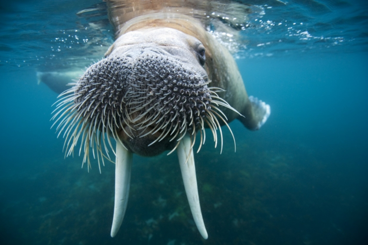 Underwater view of an adult male walrus swimming near the surface near Lagoya on a summer afternoon. | Location: Lagoya, Svalabrd, Norway. . Photograph by Paul Souders.
